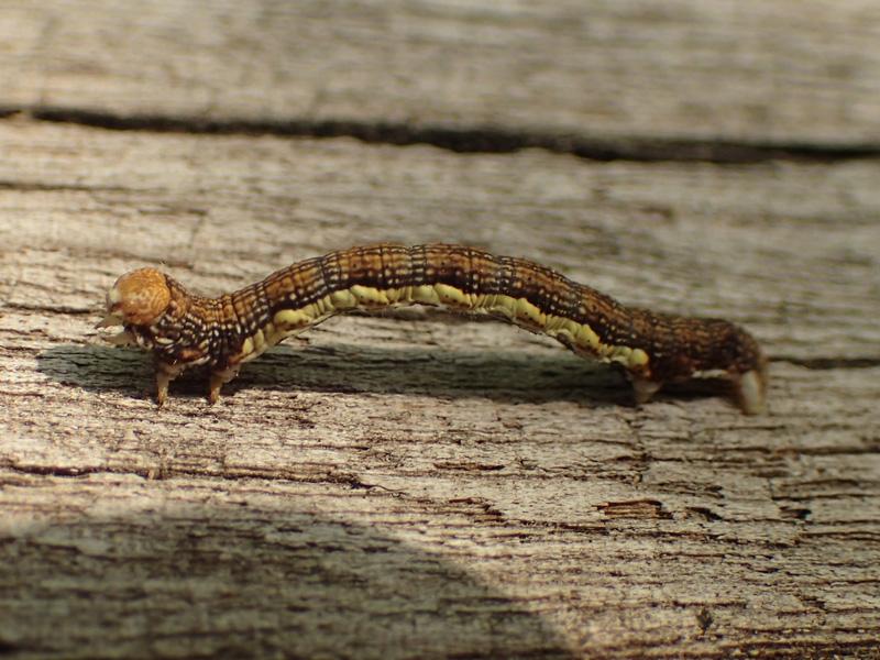 チャバネフユエダシャク 幼虫