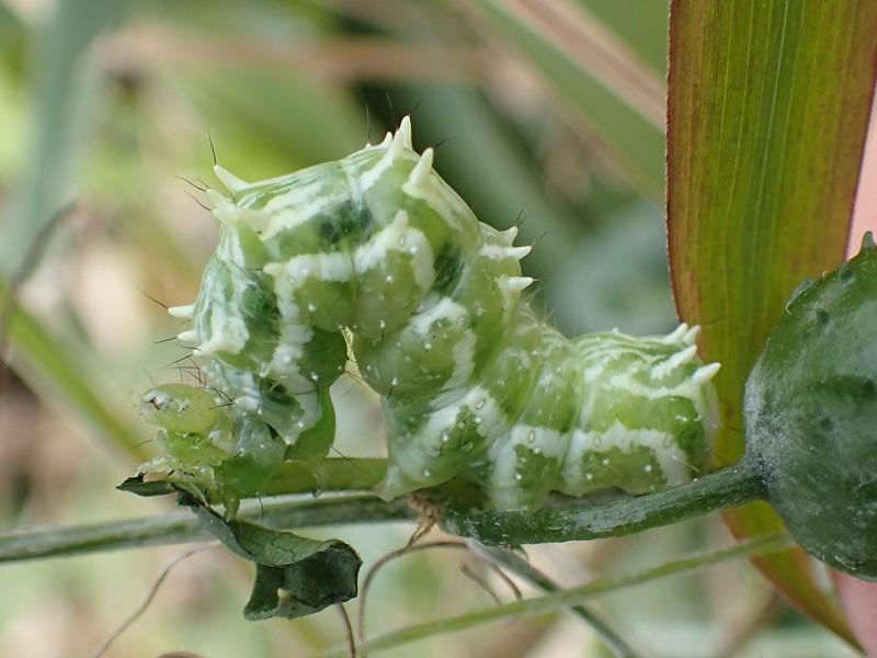 ウリキンウワバ 幼虫