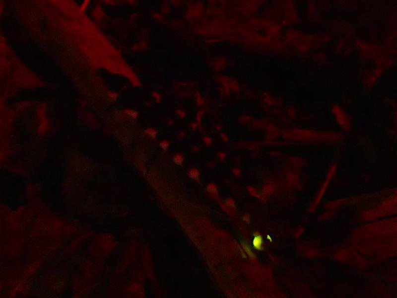 マドボタル 幼虫