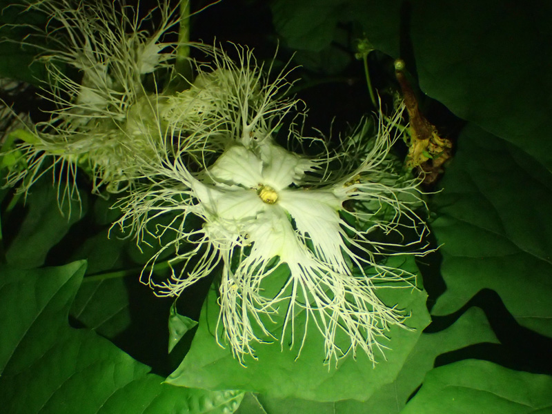 キカラスウリ 花