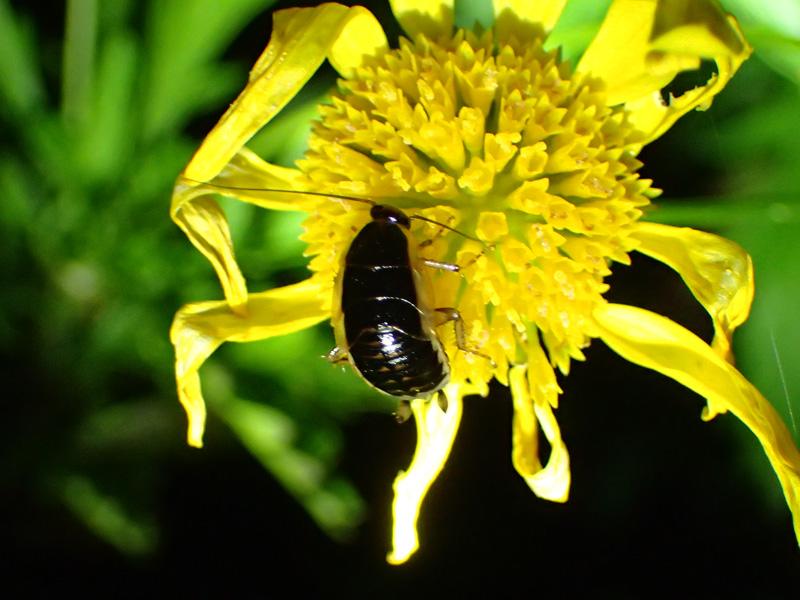 ゴキブリ 幼虫