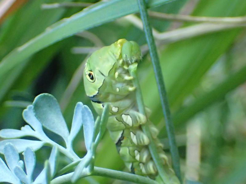 ナミアゲハ 終齢幼虫