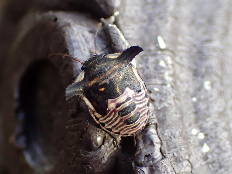 ウシカメムシ 幼虫