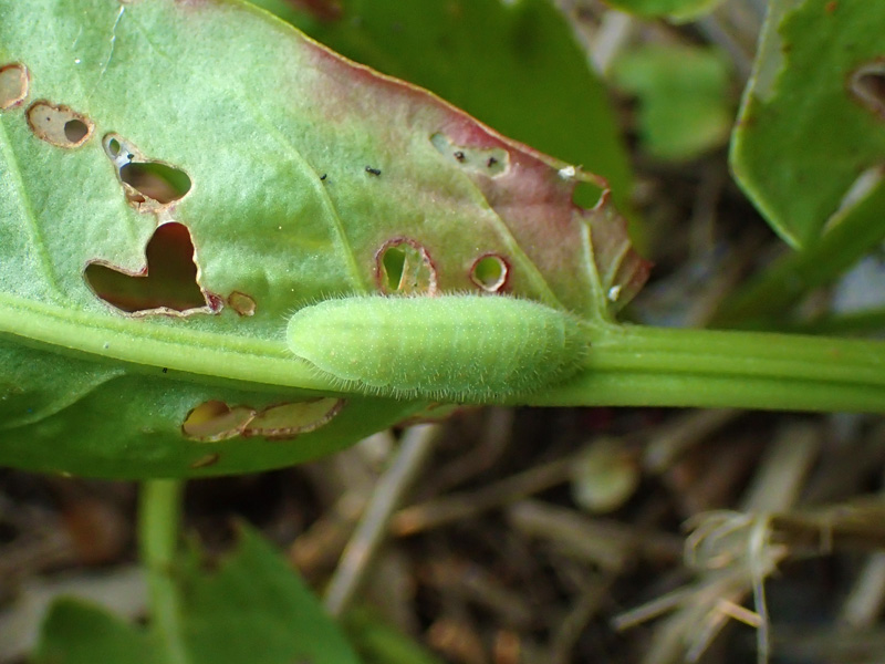 ベニシジミ 幼虫