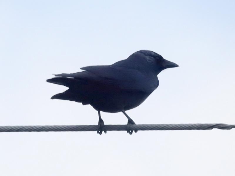 コクマルガラス 幼鳥