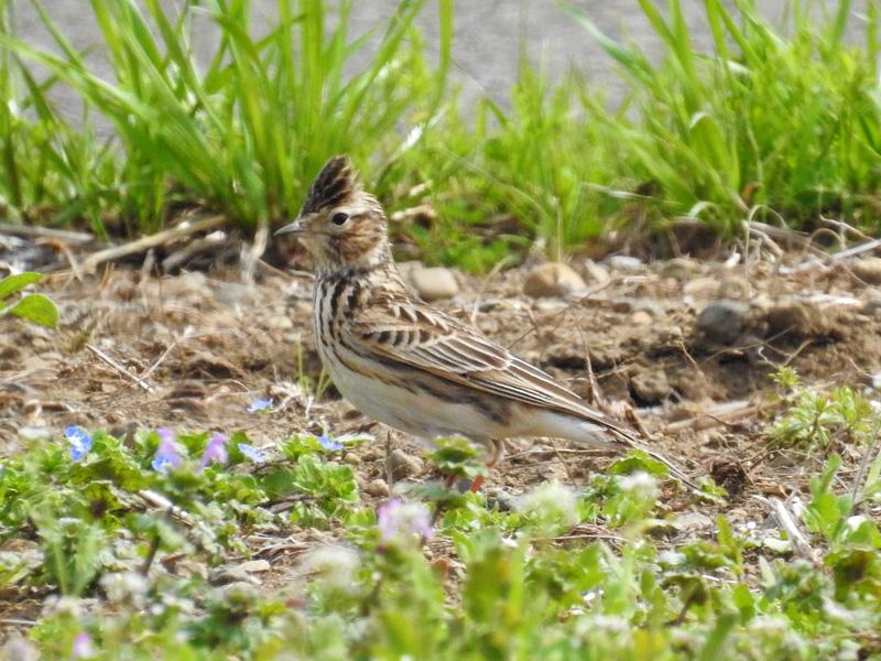 ヒバリ(雲雀)は冠羽が特徴的な春を告げる鳥!さえずり飛翔も面白い ...