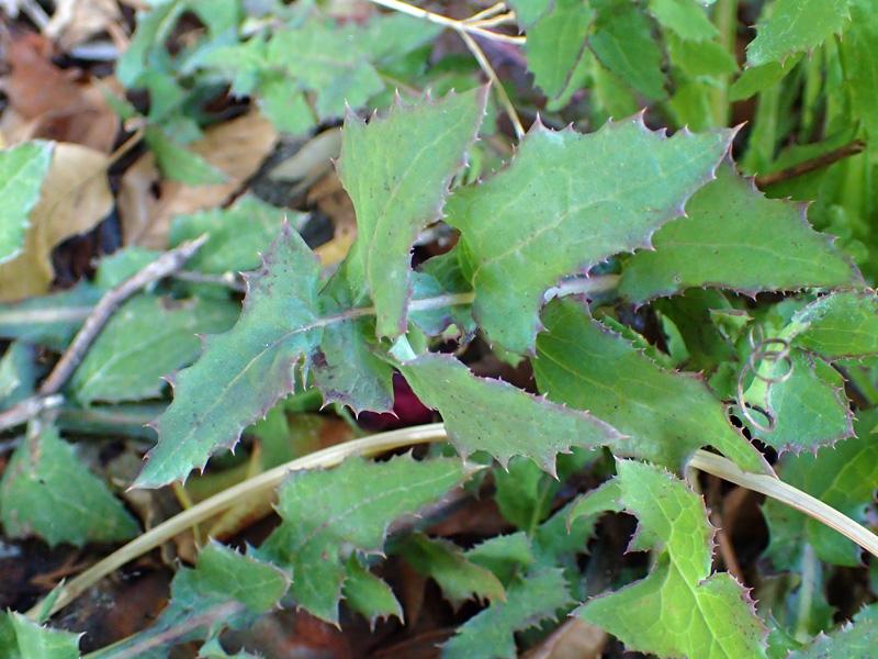 ノゲシ 葉