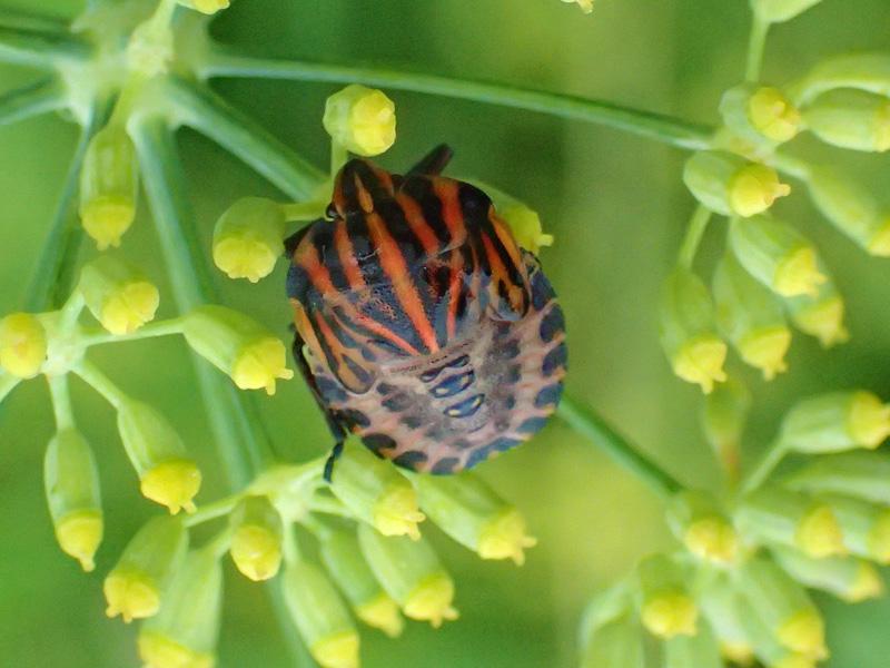 アカスジカメムシ 幼虫