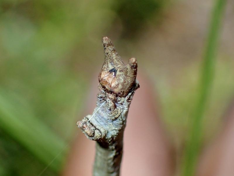 トビモンオオエダシャク 幼虫