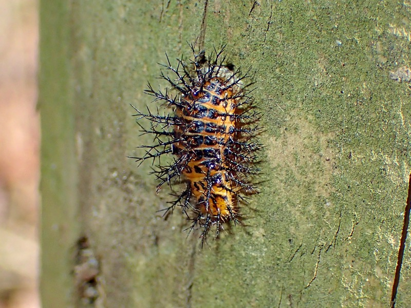 トホシテントウ 幼虫
