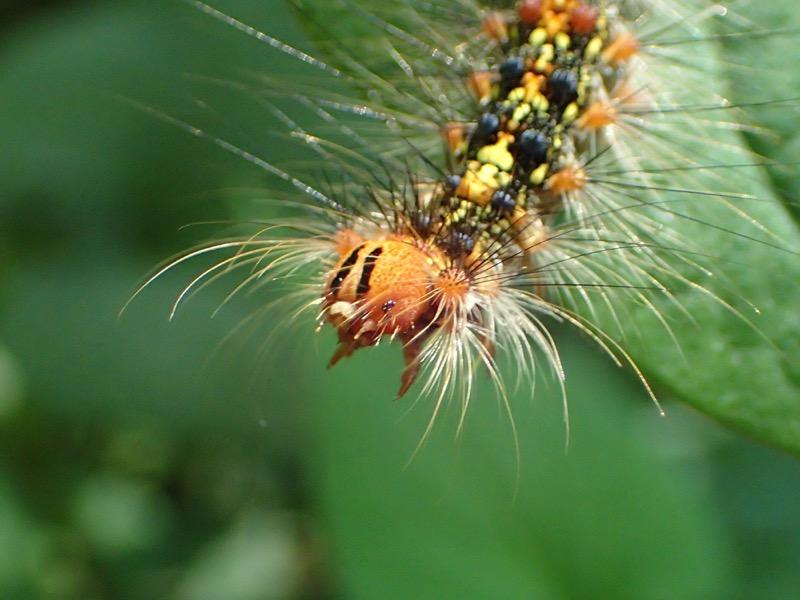 マイマイガ 幼虫