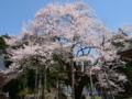 [桜]明日の大桜
