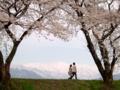 [桜]舟川の桜