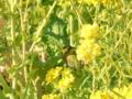 [メジロ]吾妻山の菜の花とメジロ