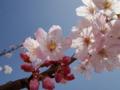 [桜]春めき桜
