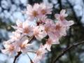 [桜]啓翁桜 大船植物園