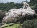 [桜]長興山紹太寺のシダレサクラ