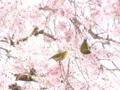 [桜]白泉寺のシダレザクラとメジロ (1)