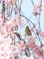 [桜]白泉寺のシダレザクラとメジロ (2)