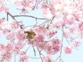 [桜]白泉寺のシダレザクラとメジロ (4)