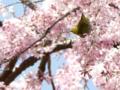 [桜]白泉寺のシダレザクラとメジロ (5)