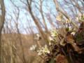 猿山岬の雪割草