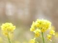 酒匂川のきらめきと春木みちの菜の花