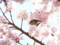 春木みちの春めき桜とメジロ
