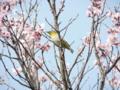 啓翁桜とメジロ