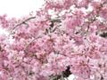 [桜]白泉寺のシダレザクラ
