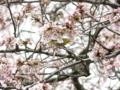 [桜]白泉寺のソメイヨシノとメジロ
