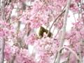 [桜]白泉寺のシダレザクラとメジロ