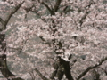 [桜]神奈川県立秦野戸川公園の桜