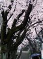 [桜]弥生神社参道の桜並木