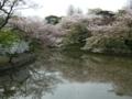 [桜]鎌倉八幡宮