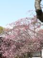 [花海棠]海蔵寺