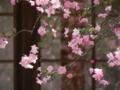 [花海棠]海蔵寺の花海棠