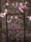 海蔵寺の花海棠