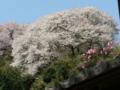 [桜]海蔵寺
