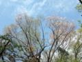 [桜]久しぶりに晴れた空に