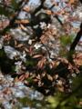[桜]山桜