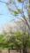 府中の森公園 ヤマザクラ