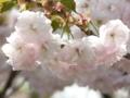 [桜]府中の森公園 サトザクラ