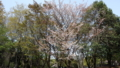[桜]府中の森公園 ヤマザクラ