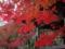 大山の紅葉