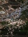 [桜]鶴岡八幡宮の桜