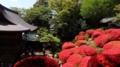 神木山等覚院の躑躅