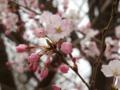 [桜]コマツオトメ