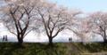 [桜]舟川