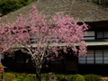 [鎌倉]海蔵寺の海棠